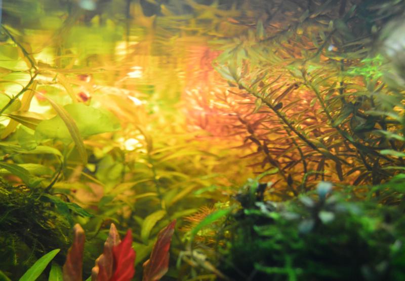 Ambrer l'aquarium / ajout feuilles Dsc_0022