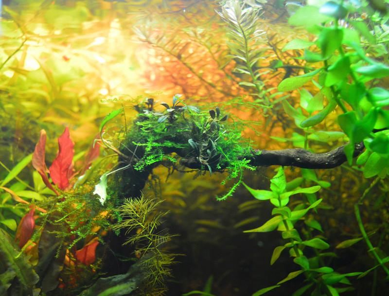 Ambrer l'aquarium / ajout feuilles Dsc_0024