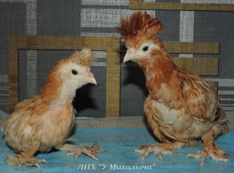 Павловская порода кур - Страница 17 --260610