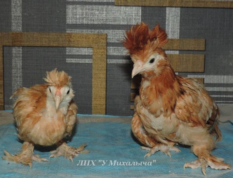 Павловская порода кур - Страница 17 --260611