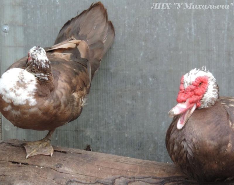 Мускусные утки (индоутки) - ч.6 Didi-113