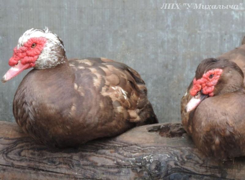 Мускусные утки (индоутки) - ч.6 Didi-114