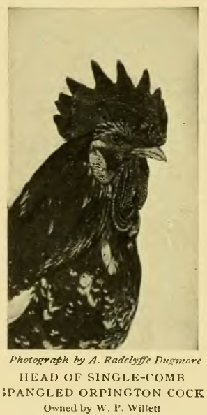Куры породы Орпингтон - Страница 9 Image285