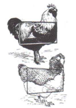 Порода кур Фавероль - Страница 7 Image627