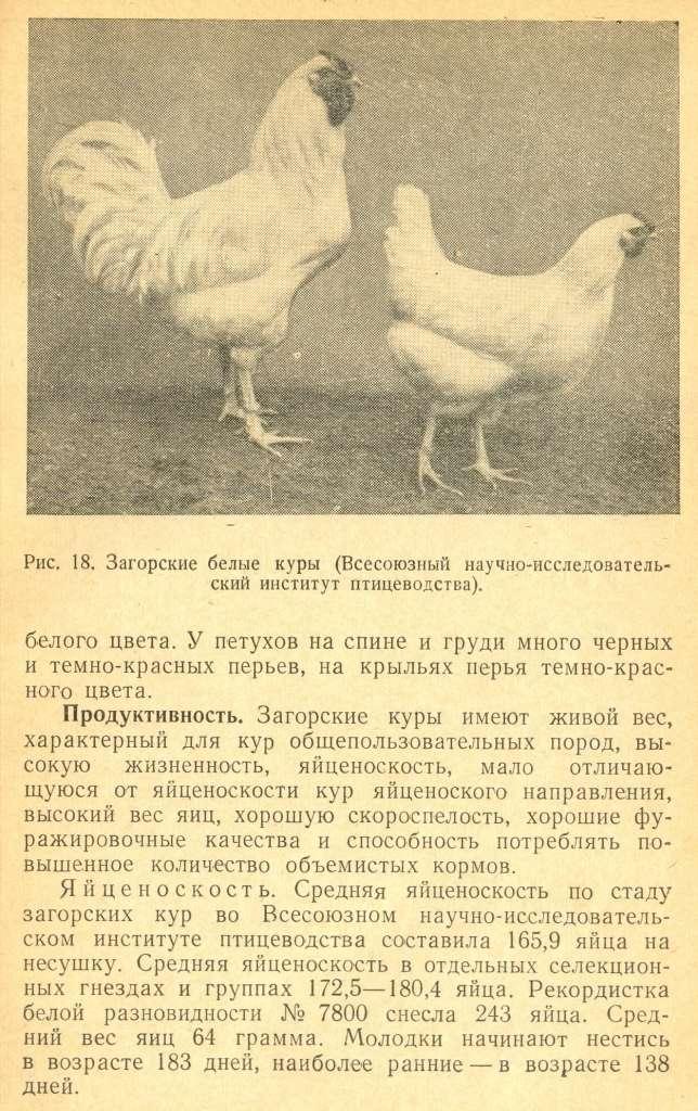 Загорская лососевая порода кур - Страница 2 Izaeaz72