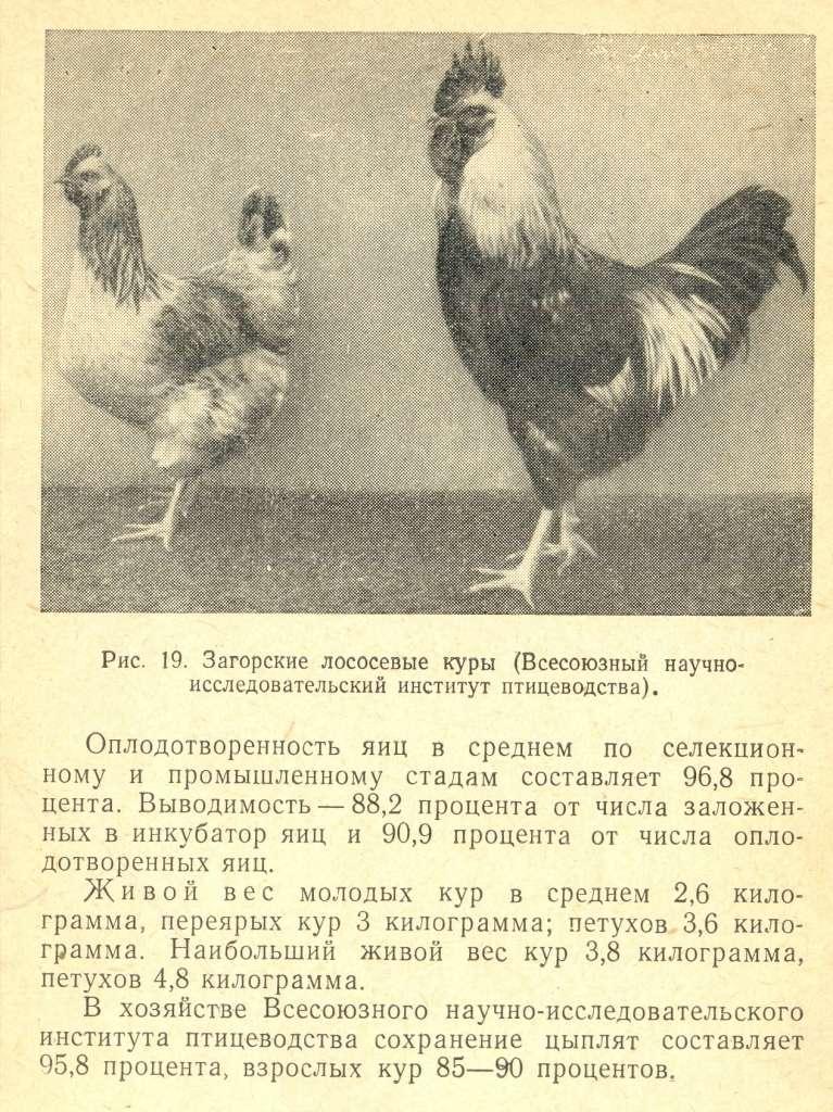 Загорская лососевая порода кур - Страница 2 Izaeaz74