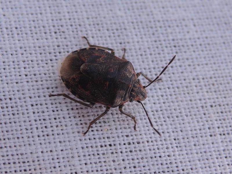 [Holcogaster fibulata] Holcogaster fibulata à Plouzané ? Dscn3811