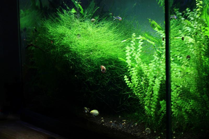 72 litres planté, Colisa - Corydoras - Page 2 Img_5616