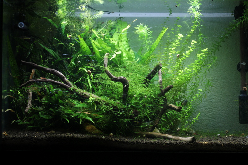 72 litres planté, Colisa - Corydoras - Page 2 Img_6511
