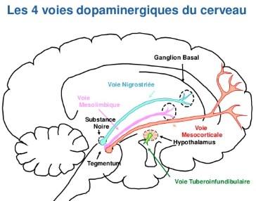 Les 4 voies dopaminergiques