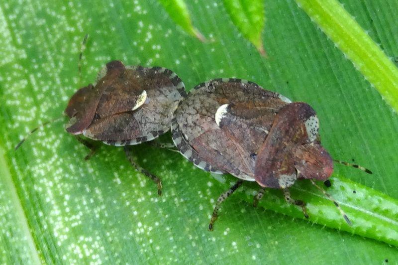 [Dyroderes umbraculatus] : scène de couple  Dyrode10
