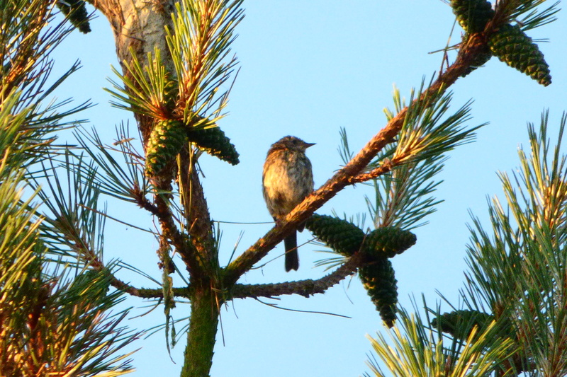 Jeune oiseau ? Quelle espèce ? P1220010
