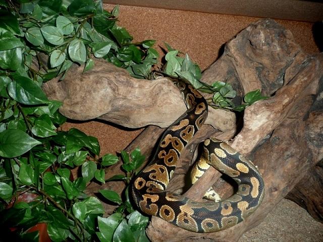 [Fiche] Python regius 2010