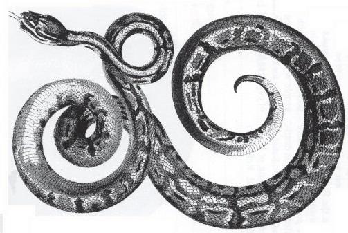 [Fiche] Python regius 211