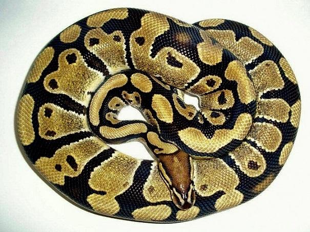 [Fiche] Python regius 6-210