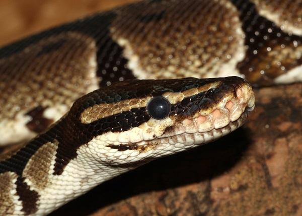 [Fiche] Python regius 810