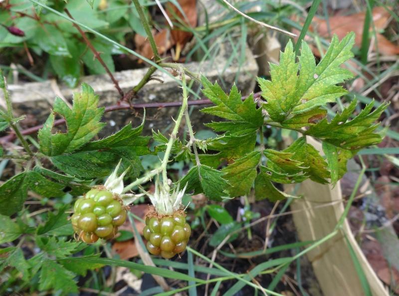 """les plantes """"sauvages"""" aiment bien mon jardin. savez vous leur nom ? Dsc02110"""