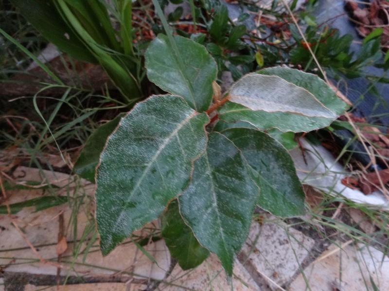 """les plantes """"sauvages"""" aiment bien mon jardin. savez vous leur nom ? Dsc02710"""