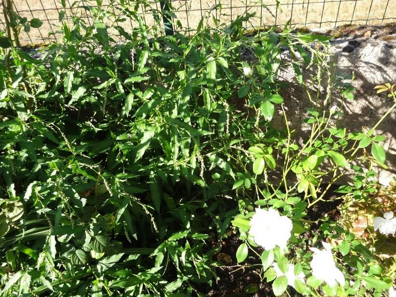"""les plantes """"sauvages"""" aiment bien mon jardin. savez vous leur nom ? Dsc02711"""