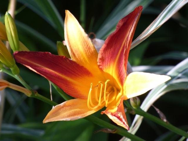 Hemerocallis - des variétés - Page 5 P1040010