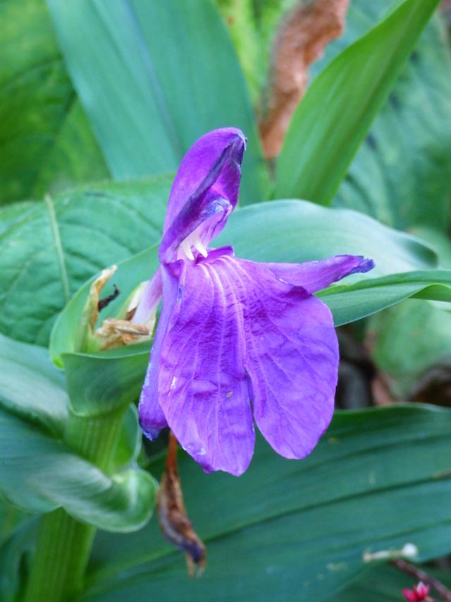 Roscoea purpurea = Roscoea procera - fausse-orchidée P1050115