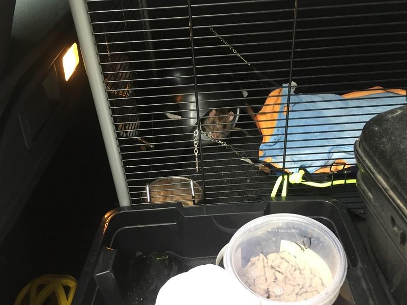Et voici notre bébé Rat des champs : Ratatouille  0111
