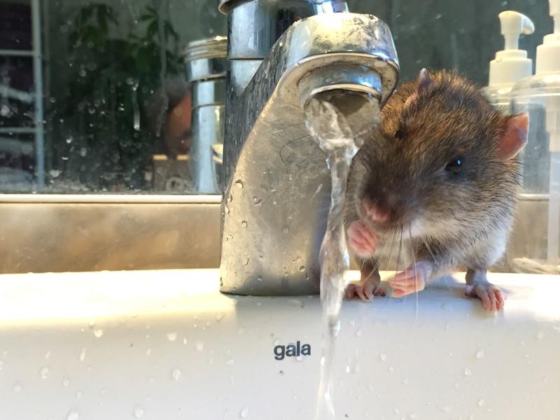 Et voici notre bébé Rat des champs : Ratatouille  0211