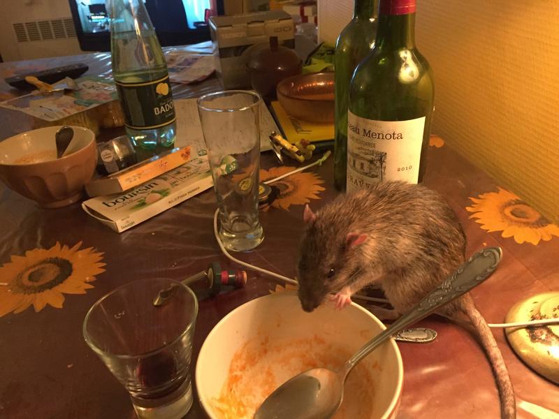 Et voici notre bébé Rat des champs : Ratatouille  Img_5113