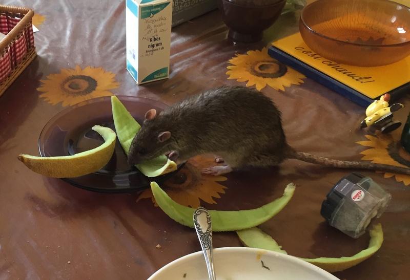Et voici notre bébé Rat des champs : Ratatouille  Img_5215