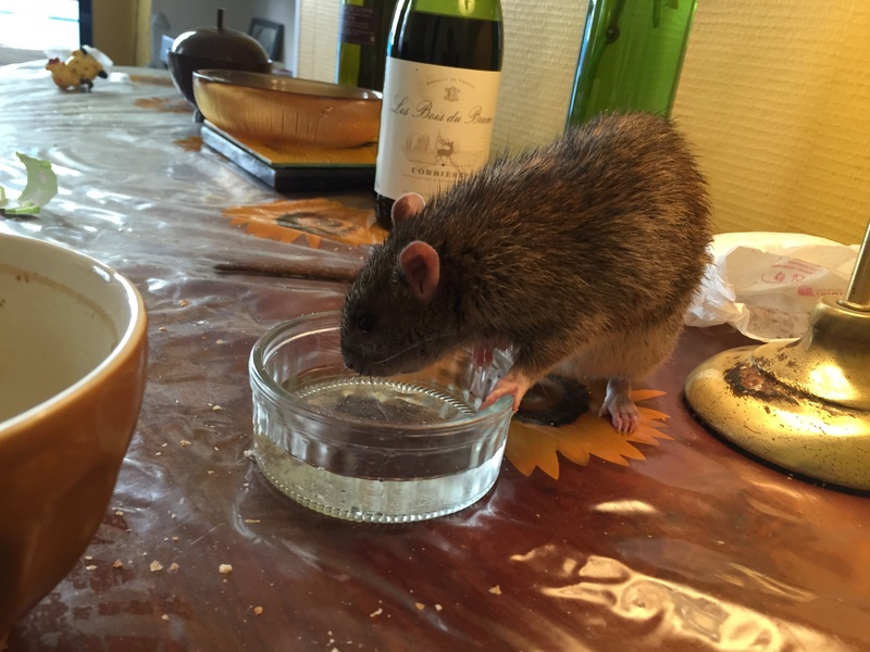 Et voici notre bébé Rat des champs : Ratatouille  Img_5216