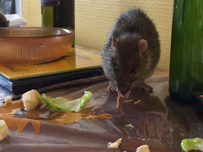 Et voici notre bébé Rat des champs : Ratatouille  Img_5217