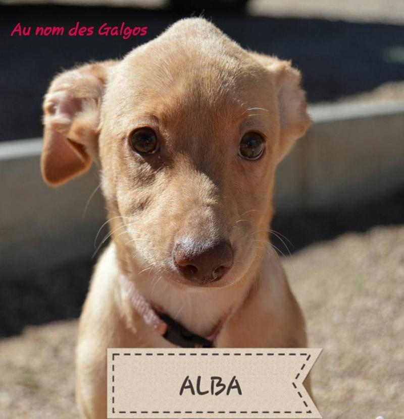 Chiots podenco nés en mars 2016 Alba12