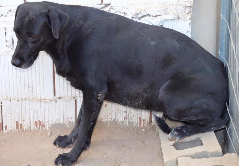 BRIZNA femelle croisée Labrador née le 19/03/2011 Briz110
