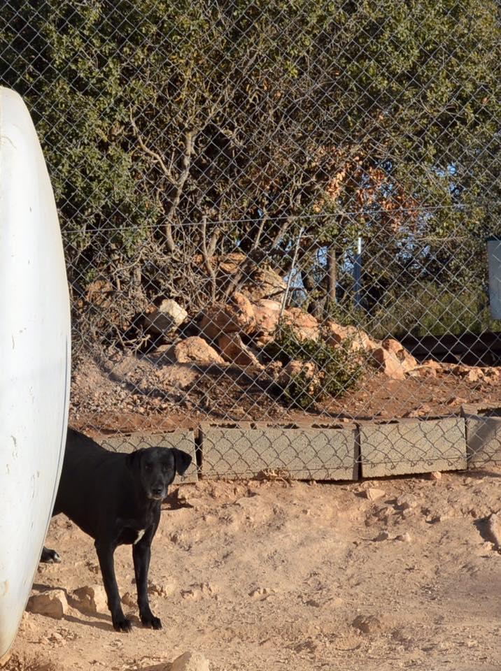 BRIZNA femelle croisée Labrador née le 19/03/2011 Briz210