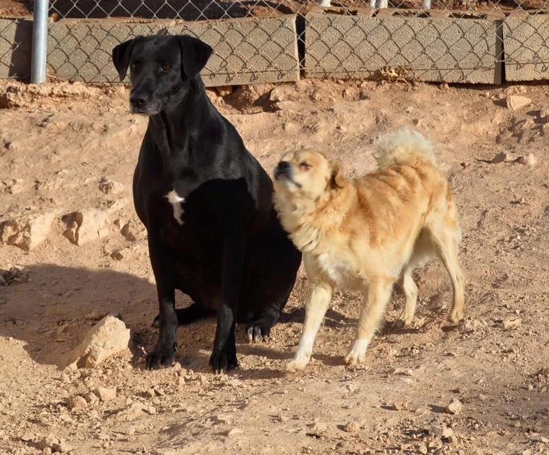BRIZNA femelle croisée Labrador née le 19/03/2011 Briz310
