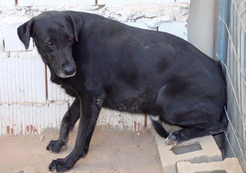 BRIZNA femelle croisée Labrador née le 19/03/2011 Briz410