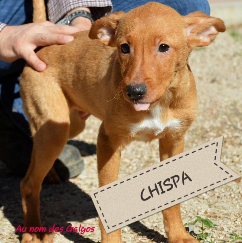 Chiots podenco nés en mars 2016 Chispa12