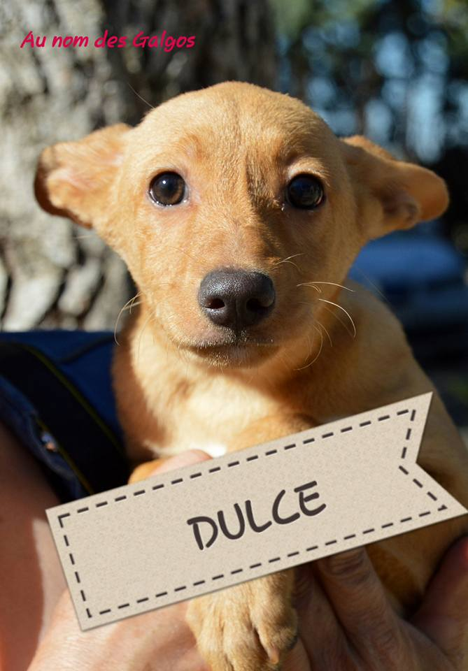 Chiots podenco nés en mars 2016 Dulce12
