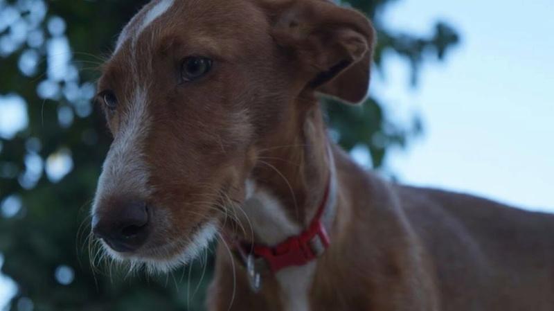 KATY podenca de 4 mois en cours d'adoption Katy210