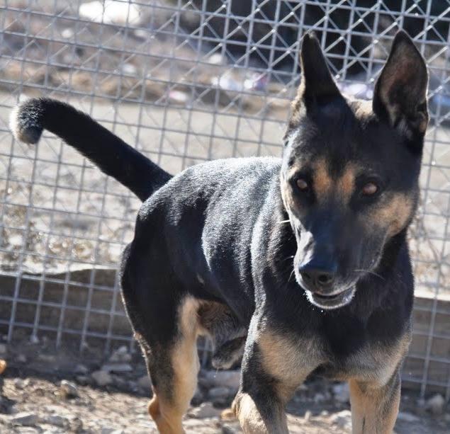 RAMBO croisé berger allemand né en janvier 2007 Rambo111