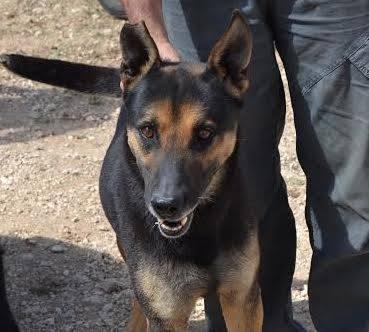RAMBO croisé berger allemand né en janvier 2007 Rambo112
