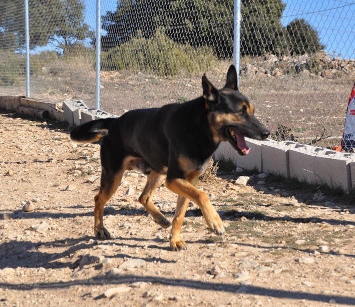 RAMBO croisé berger allemand né en janvier 2007 Rambo113