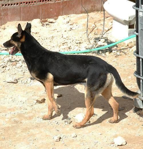 RAMBO croisé berger allemand né en janvier 2007 Rambo114