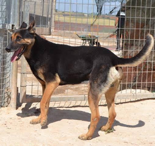 RAMBO croisé berger allemand né en janvier 2007 Rambo116