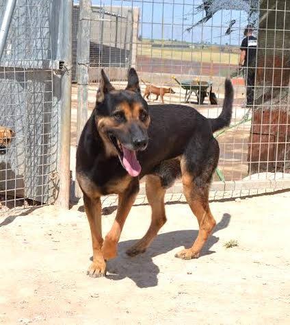 RAMBO croisé berger allemand né en janvier 2007 Rambo117