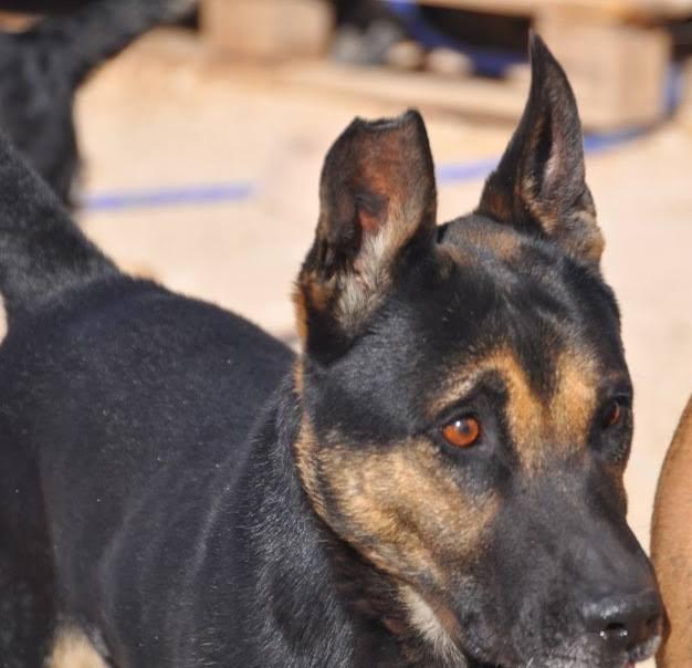 RAMBO croisé berger allemand né en janvier 2007 Rambo118