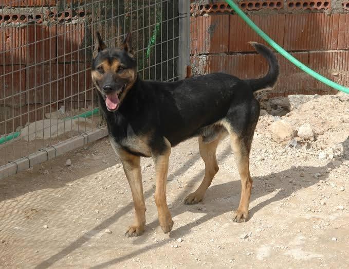RAMBO croisé berger allemand né en janvier 2007 Rambo119