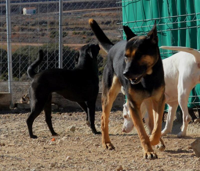 RAMBO croisé berger allemand né en janvier 2007 Rambo120