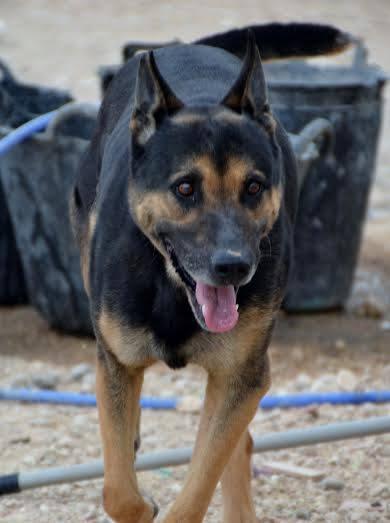 RAMBO croisé berger allemand né en janvier 2007 Rambo211