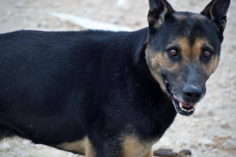 RAMBO croisé berger allemand né en janvier 2007 Rambo212